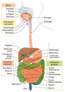 anatomia disgestion